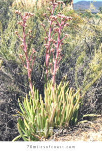lady fingers succulent plant san onofre state beach