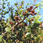 lemonade berry bush red berries green toothed leaves