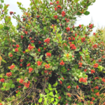 Lemonade Berry Bush green leaves red berries