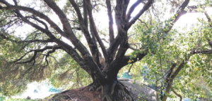 live Oak Family Fagaceae