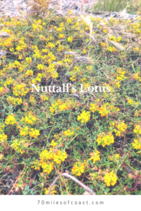 nuttals lotus plants at the beach