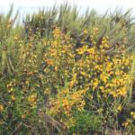 orange bush monkeyflower plants at the beach