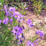purple nightshade flowers temecula pechanga creek