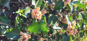 sugar bush family anachardiaceae