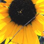 Sunflower southern california native plants
