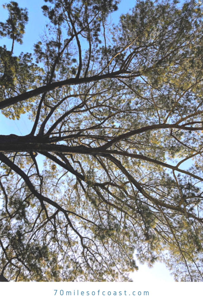 torrey pine tree crown view branches