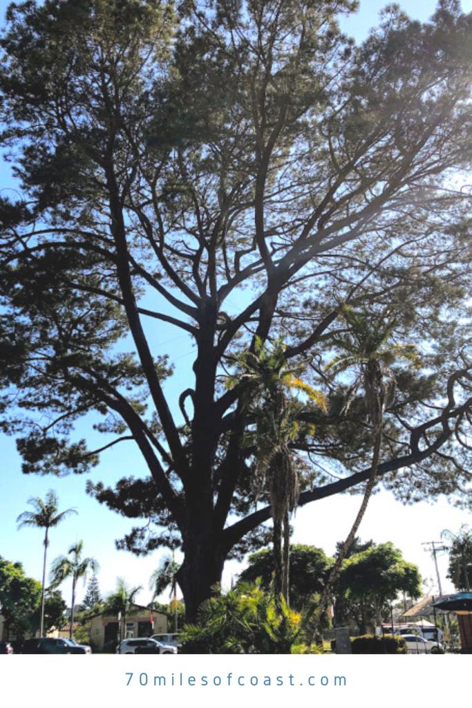Wardholme torrey pine tree worlds largest