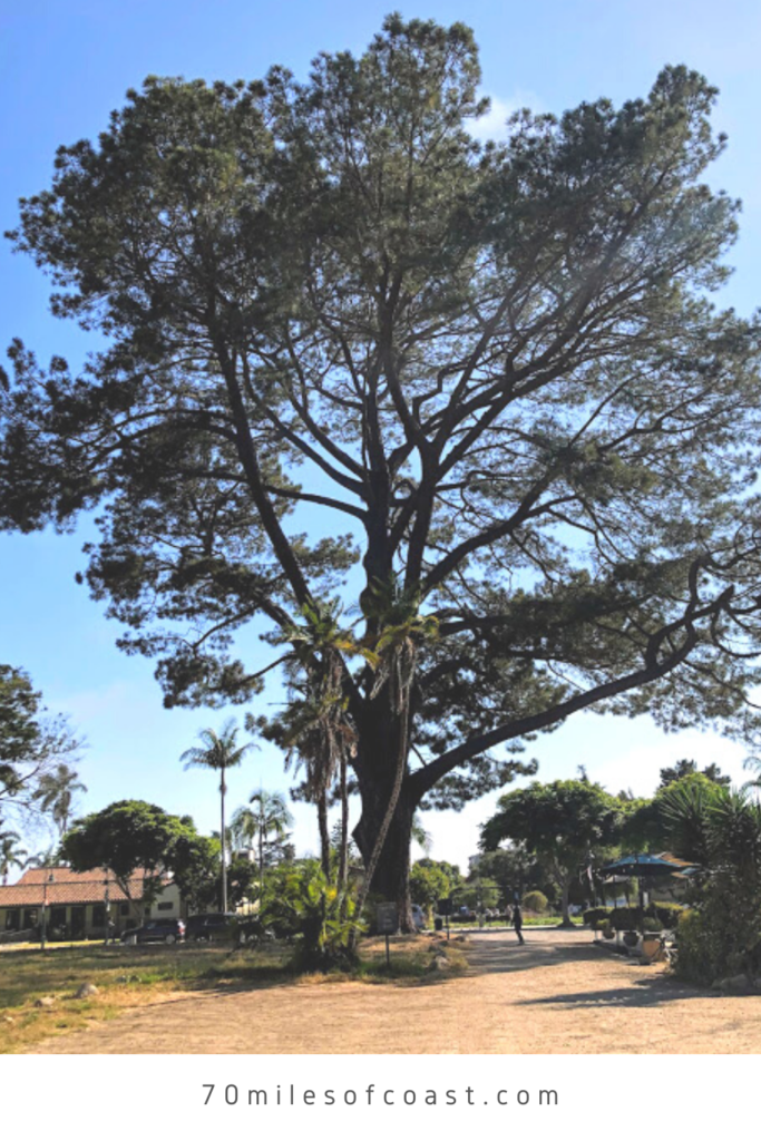 Wardholme Torrey Pine tree full view across street