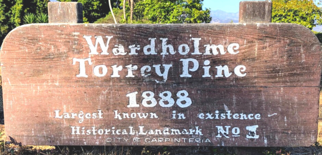 Wardholme Torrey Pine Tree Landmark Santa Barbara County