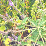 western vervain plant san onofre state beach
