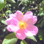 wild rose flower pink yellow center green leaves