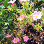 wild rose flowers may plants at the beach