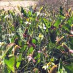 Yerba Mansa trestles beach family Saururaceae