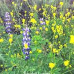 bicolor lupine flowers blue white yellow mustard flowers