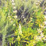 Black sage bush white flowers green leaves