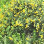 Bladderpod bush san onofre bluff campground