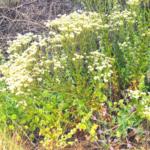 Ca Everlasting bush plants at the beach