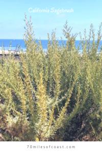 CA Sagebrush bush trestles beach san onofre