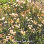 Calif buckwheat bush san onofre state beach