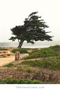 cypress tree lompoc ocean beach park