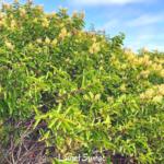 Laurel sumac bush green leaves yellow flowers