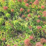 laurel sumac flowers san onofre bluff campground August