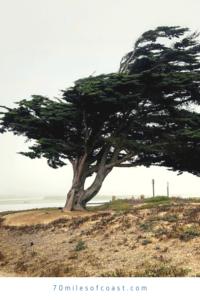 monterey cypress tree ocean beach park lompoc CA