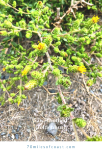 Saw Toothed Goldenbush flowers plants at the beach