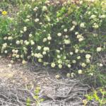 Seacliff buckwheat plants at the beach