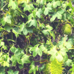 Wild cucumber leaves plants at the beach