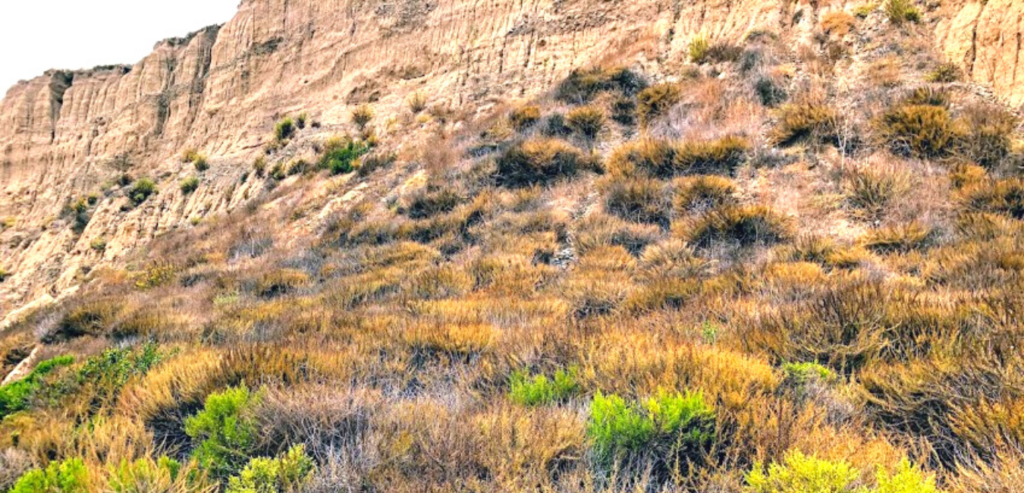 California sagebrush bushes san onofre state beach trail