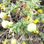 bladderpod flowers bluffs beach San Onofre