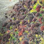 CA Buckwheat bush trestles beach san onofre