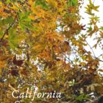 CA-sycamore leaves trestles beach trail