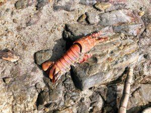 CA spiny lobster san diego salt water fishing