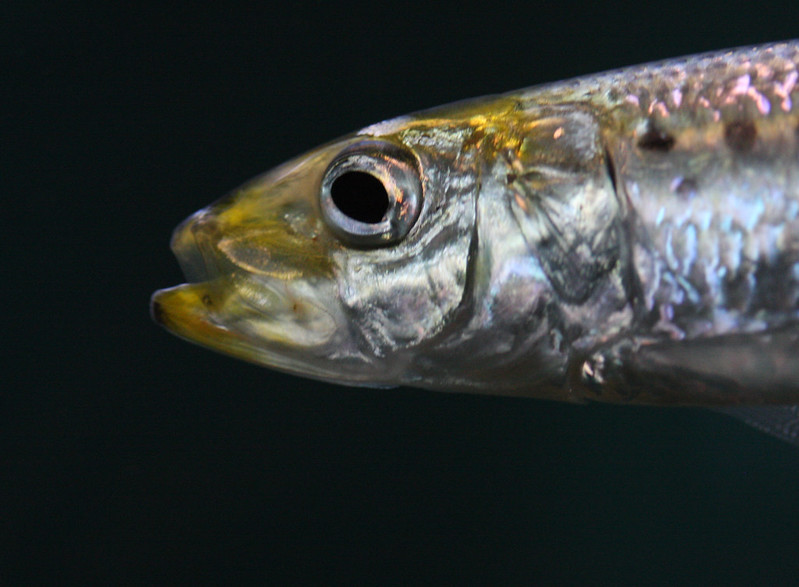 marcro grunion fish head close up