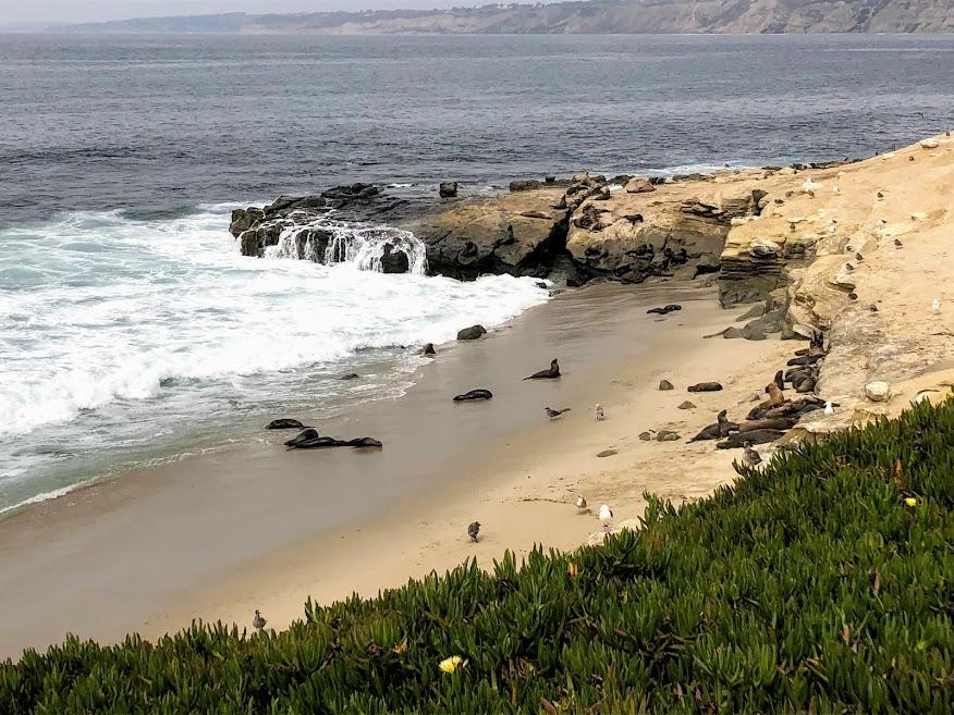 CA sea lions la jolla san diego