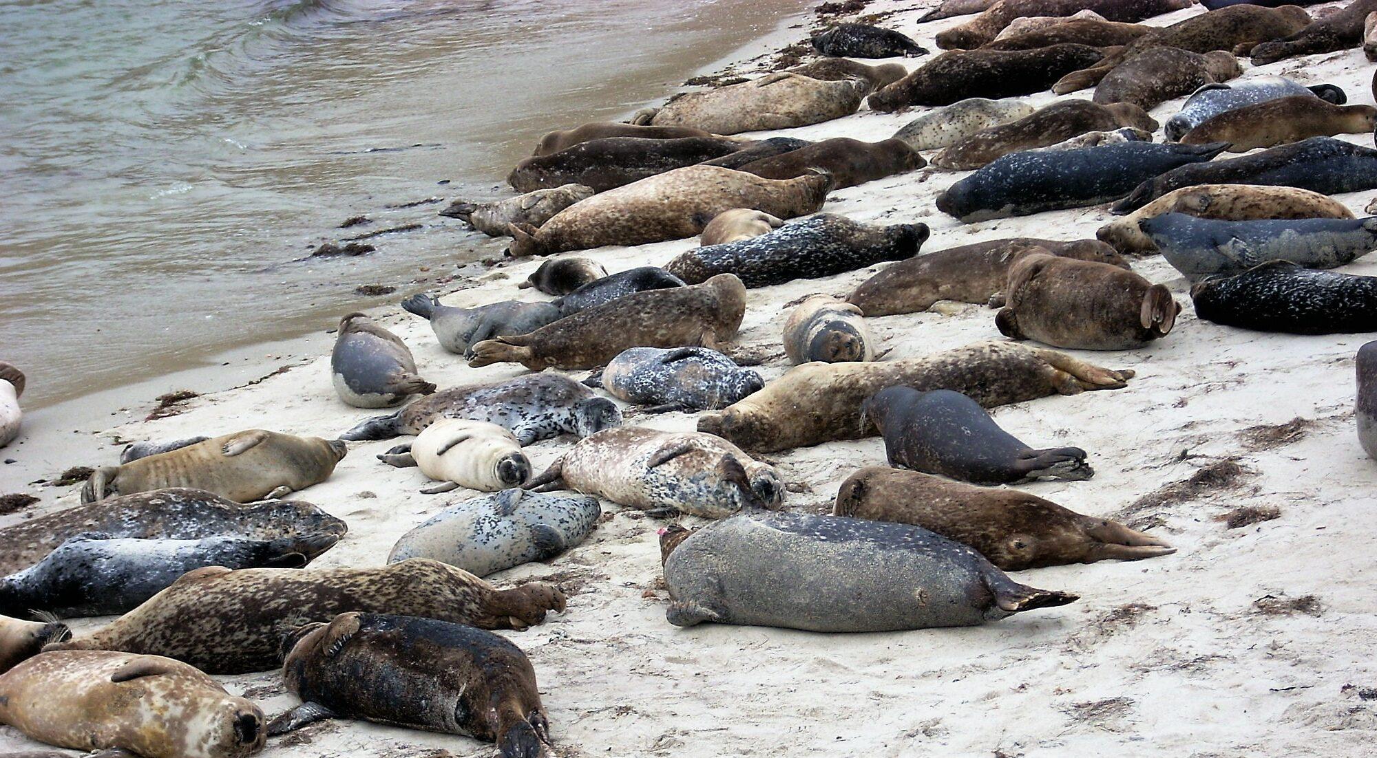 2009 harbor seals la jolla san diego