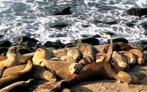 california sea lions la jolla 2020