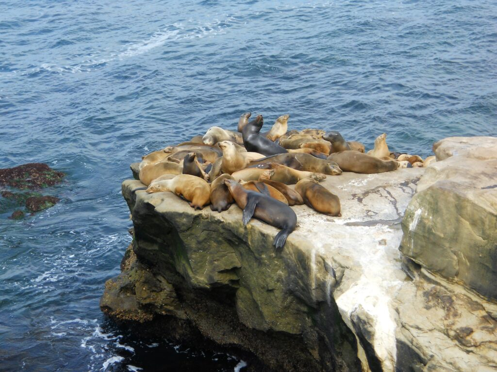 sea lions rock la jolla coastline